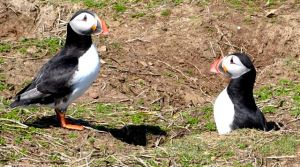 Puffin burrows on Skomer