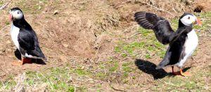 Landing on Skomer the puffin way